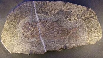 Archaeosemionotus_sp