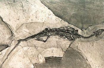 Pachypleurosaurus