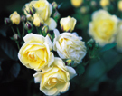 255_rosen_gelbweiss_k
