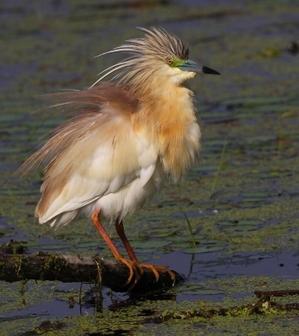 Squacco_heron